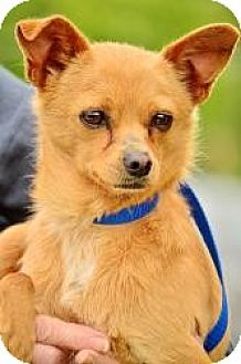 Chihuahua Mix Dog for adoption in Bakersfield, California - Carlos