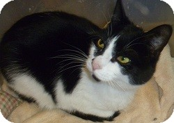 Domestic Shorthair Cat for adoption in Hamburg, New York - Marcy