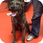 German Shepherd Dog/Labrador Retriever Mix Puppy for adoption in Brooklyn, New York - Outstanding Ocean