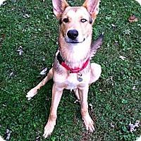 Adopt A Pet :: Schatzi - Nashville, TN