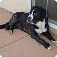 Adopt A Pet :: Big Gal 100 pounds - Sacramento, CA
