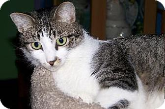 Domestic Shorthair Cat for adoption in Schertz, Texas - Jolly Roger