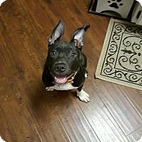 Adopt A Pet :: Bitsey - Sacramento, CA