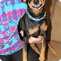 Miniature Pinscher Dog for adoption in Syracuse, New York - Renny