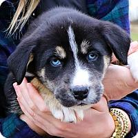Adopt A Pet :: Aphrodite $250 - Seneca, SC