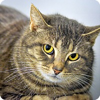 Domestic Shorthair Cat for adoption in Martinsville, Indiana - Kiddo