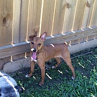 Miniature Pinscher/Terrier (Unknown Type, Small) Mix Dog for adoption in Baton Rouge, Louisiana - Copper