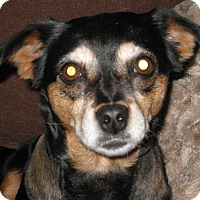 Adopt A Pet :: Nibbles - Indianapolis, IN