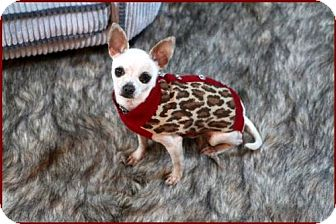 Chihuahua Dog for adoption in Dallas, Texas - Manny