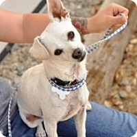 Adopt A Pet :: Snowcone - Newhall, CA