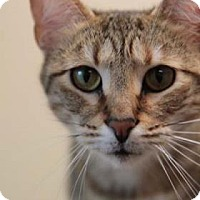 Domestic Shorthair Cat for adoption in Columbia, South Carolina - Jessica