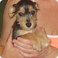 Schnauzer (Miniature) Mix Puppy for adoption in Greenville, Rhode Island - Neacie