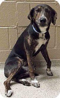 Labrador Retriever/Hound (Unknown Type) Mix Dog for adoption in Plainfield, Illinois - Sherry