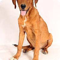 Adopt A Pet :: Red HoundMix - St. Louis, MO