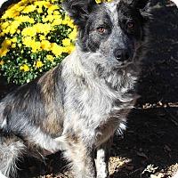 Adopt A Pet :: FANNY - Westminster, CO