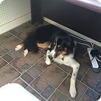 English Shepherd Dog for adoption in Nixa, Missouri - Shep #924