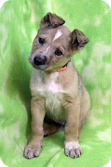 Shepherd (Unknown Type) Mix Puppy for adoption in Westminster, Colorado - YOLO