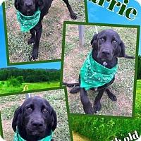 Adopt A Pet :: HARRIE - Lexington, NC