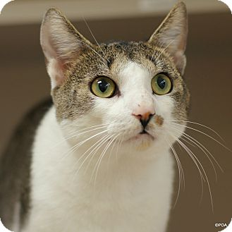 Domestic Shorthair Cat for adoption in East Hartford, Connecticut - Jasper
