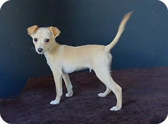 Chihuahua Mix Puppy for adoption in Van Nuys, California - Randy