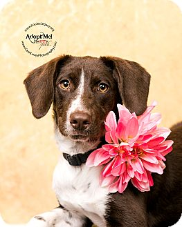 German Shorthaired Pointer/Beagle Mix Dog for adoption in Cincinnati, Ohio - Hatti