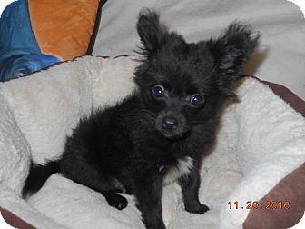 Pomeranian/Dachshund Mix Puppy for adoption in haslet, Texas - kosmo