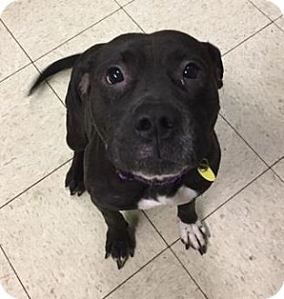 Terrier (Unknown Type, Medium)/Pit Bull Terrier Mix Dog for adoption in Cleveland, Ohio - Mayflower