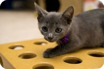 Domestic Shorthair Kitten for adoption in McHenry, Illinois - Dusty
