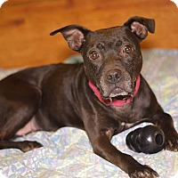 American Staffordshire Terrier/Labrador Retriever Mix Dog for adoption in Linden, New Jersey - CARLY