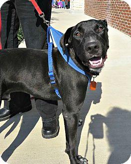 Labrador Retriever/Great Dane Mix Dog for adoption in McKinney, Texas - Bunky