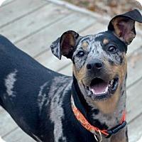 Catahoula Leopard Dog/Australian Cattle Dog Mix Dog for adoption in Fenton, Missouri - Blade