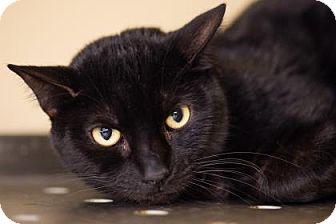 Domestic Shorthair Cat for adoption in Palm Springs, California - Rocker