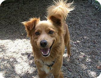 Nova Scotia Duck-Tolling Retriever/Spaniel (Unknown Type) Mix Dog for adoption in Fennville, Michigan - Scout