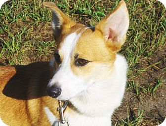 Corgi Dog for adoption in Orange Park, Florida - Dwight