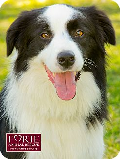 Border Collie Dog for adoption in Marina del Rey, California - Genki
