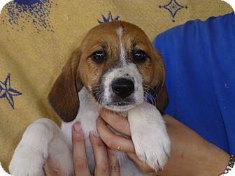 Labrador Retriever/Hound (Unknown Type) Mix Puppy for adoption in Oviedo, Florida - Bailey