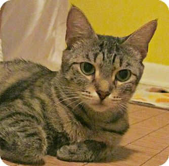 Domestic Shorthair Cat for adoption in Seminole, Florida - Maggie