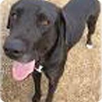 Adopt A Pet :: Dazee - Quinlan, TX