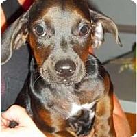 Adopt A Pet :: Lippa - Albany, NY