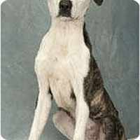 Adopt A Pet :: Helena - Chicago, IL