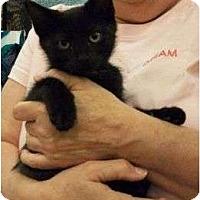 Adopt A Pet :: Velcro - Reston, VA