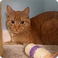 Adopt A Pet :: Cheddar - Lake Villa, IL