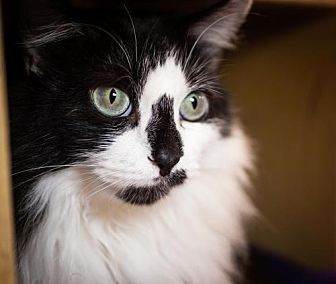 Domestic Mediumhair Cat for adoption in Cary, North Carolina - Zumba