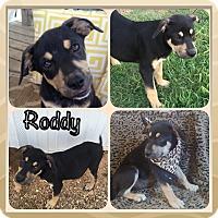 Adopt A Pet :: Roddie-pending adoption - East Hartford, CT