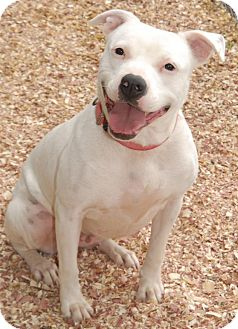 American Bulldog Mix Dog for adoption in Shelbyville, Tennessee - Gracie