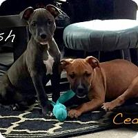 Adopt A Pet :: Cedar - Buffalo, NY