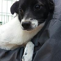 Adopt A Pet :: Katie - Oakton, VA