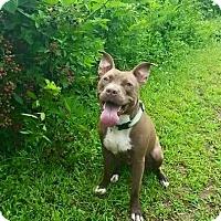 Adopt A Pet :: Luna - Fayetteville, NC