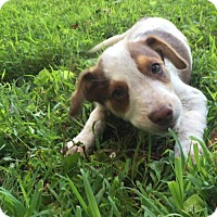 Adopt A Pet :: Tiki Puppy 6: Rock Lobster (Has application) - Washington, DC