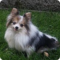 Pomeranian Mix Dog for adoption in Sandy, Utah - Milkshake